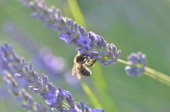 Pollination work (dfromonteil) Tags: bee abeille pollinate pollinisation lavande lavender fleur flower sunlight lumire soleil macro bokeh green vert purple violet pourpre bug insecte insect animal