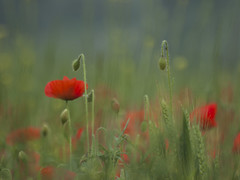 Magie champêtre **--- ° (Titole) Tags: poppies buds titole nicolefaton friendlychallenges thechallengefactory unanimouswinner