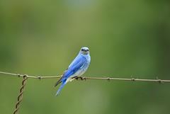 DSC_7141 (albro11) Tags: bluebird