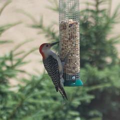 Red Bellied Woodpecker,  June 2016 (marylea) Tags: bird birdfeeder peanuts redbelliedwoodpecker 2016 jun17