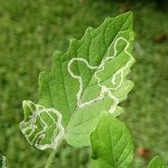 Tomato: Leafminers (Liriomyza sp.) (Scot Nelson) Tags: tomato solanum lycopersicon liriomyza leafminers