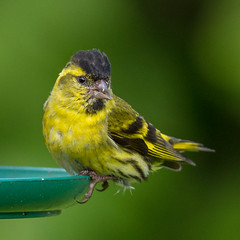 Male Siskin (john.purvis) Tags: uk birds siskin