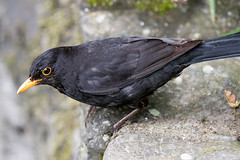 Blackbird (Shane Jones) Tags: bird nikon wildlife blackbird d500 tc14eii gardenbird 200400vr