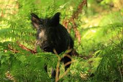 Wild Boar Sow (Sus scrofa) (Rob Ward (Bothrops)) Tags: wild nature forest mammal pig wildlife piglet sow forestofdean wildboar susscrofa robinward