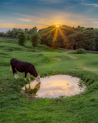 The Waterhole at Sunset (Rifle-Coach) Tags: trees sunset england reflection green water yellow reflections cow pond cattle sundown unitedkingdom outdoor drinking gb bovine lowsun highpeakdistrict