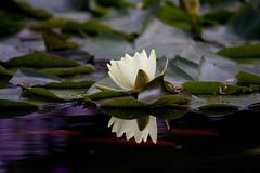 Drei Fische.jpg (Markus Hoffmann (Maggifu)) Tags: pflanzen spiegelungen seerosen botanischergartenaugsburg ausflugsziele blumenkleinpflanzen gartenanlagenparks