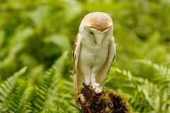 Okay, What Now (zarlock81) Tags: birds scotland wildlife balloch lochlomond barnowl schottland tytoalba schleiereule vereinigtesknigreich