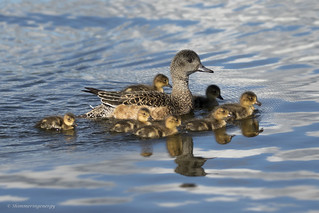 American Wigeon family