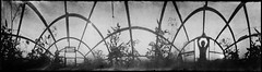 Greenhouse Effect (batuda) Tags: pinhole obscura stenope analogue anamorph anamorphic can cylindrical cofeecan nescafe paper kodak polymax 6x24 360 wide wideangle lowangle panorama panoramic d76 greenhouse perspective distortion vegetables tomato human people silhouette building architecture sky ground bw blackandwhite monochrome lithuania radvilikis garden analog window door dill