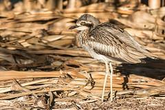 Bush Stone-curlew (steve happ) Tags: newsouthwales burhinusgrallarius kingscliff bushstonecurlew