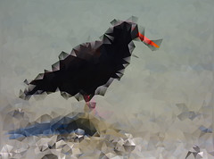 This One Has Eaten Too Many Oysters (Steve Taylor (Photography)) Tags: blue newzealand orange black bird art strange digital grey weird spring crazy odd nz oystercatcher southisland mad