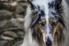 190#365 Lassie (Fabio75Photo) Tags: dog white black eyes occhi boken cucciolo peloso