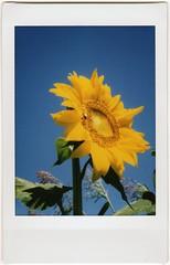 Tournesol. (Martin PEREZ 68) Tags: summer flower verde green fleur yellow jaune fuji flor vert amarillo sunflower verano instant t tournesol girasol tarnetgaronne instantan midipyrnes instaxmini fujiinxtax instaxmini70