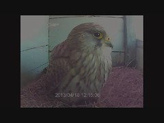 Slaperige vrouw (Jan Visser Renkum) Tags: kestrel falcotinnunculus torenvalk commonkestrel