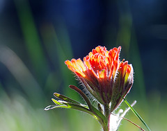 Indian Paintbrush (h_roach) Tags: flowers plant nature horizontal outdoors spring bokeh nopeople depthoffield explore wildflower indianpaintbrush