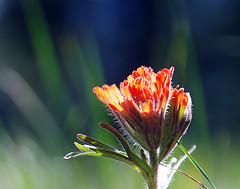 Indian Paintbrush (h_roach) Tags: flowers plant nature horizontal outdoors spring bokeh nopeople depthoffield explore wildflower indianpaintbrush