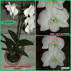 BN023-dendrobium-phalaenopsis-2013-05-08-m (BerczikAndrea) Tags: flowers plants white plant orchid flower green houseplant bloom virág houseplants indoorplant folia zöld fehér ccby bloomingplant dendrobiumphalaenopsis szobanövény