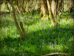 A Spring Day in Purbeck (jacqui forster) Tags: sun bluebells woodland walking spring woods warmth dorset swanage jurassic purbeck beginnings