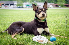 Limit 1 Year Old 05-09-2013-10 (falon_167) Tags: dog australian limit kelpie australiankelpie