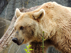 Brown Bear (MarkusR.) Tags: bear animal germany zoo stuttgart predator botanicalgarden tier br braunbr brownbear wilhelma ursusarctos badenwrttemberg badenwuerttemberg zoologicalgarden 2013 raubtier markusrieder mrieder 20130502np5040