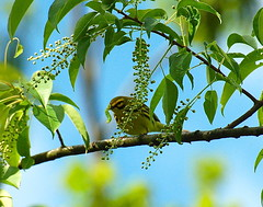 1. Prairie Warbler (A. Drauglis) Tags: tree bird eating birding caterpillar va frontroyal chokecherry prairiewarbler scbi smithsonianconservationbiologyinstitute setophagadiscolor