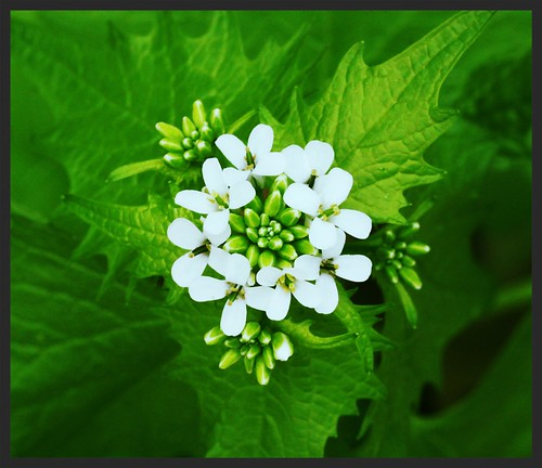 Garlic Mustard flower crown
