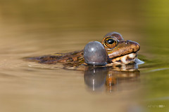 Blowing Bubbles (Emyan) Tags: portrait lake reflection green eye animals spring frog reptiles