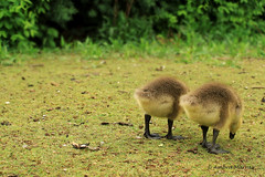 Best Friends (Meripihka) Tags: life uk friends cute green london nature animals yellow horizontal digital canon born geese spring colorful soft dof little sweet small young goslings bums behind dslr canoneos canadagoose blackfeet 650d t4i