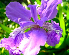 Siberian Iris (love_child_kyoto) Tags: iris flower macro spring kyoto purple         masterphotos artisticflowers takenwithlove mindigtopponalwaysontop   leicadlux5 dlux5 takenwithhardwork  rissanguinea