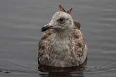 The Culprit (Pets4Dawn) Tags: california birds unitedstates morrobay westerngull locations 2ndwinter identifiers cloisterspond