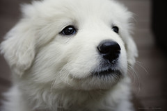 Cracker, my Great Pyrenees puppy (be-t) Tags: puppy cracker greatpyrenees
