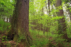 Subcanopy (Nicholas_T) Tags: trees plants nature forest moss spring hiking pennsylvania creativecommons vegetation ravine ferns deciduous coniferous fagusgrandifolia undergrowth whitepines hemlocks oldgrowthforest understory pinusstrobus columbiacounty tsugacanadensis easternhemlocks weiserstateforest easternwhitepines relictforest jakeyhollownaturalarea americanbeeches