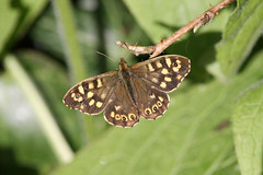 Pararge aegeria, speckled wood (Jon Baker) Tags: uk london butterfly speckledwood parargeaegeria