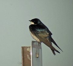 Tree Swallow (K Schneider) Tags: tree swallow bicolor tachycineta