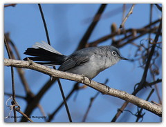 DSC01459  Blue-Gray Gnatcatcher (Polioptila caerulea) (Cliff's Photography, Why change ????) Tags: blue camping wild lake ontario canada black nature water beautiful club port wow photography photo colours adult gray conservation erie clifton avian dickinson gnatcatcher naturalist burwell
