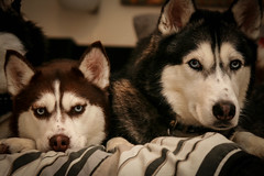 Sakari and Embry (Arctic Blue Huskies) Tags: dog canon husky huskies siberianhusky canonrebel siberian siberianhuskies siberianhuskypuppy