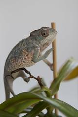 Hi (Florence Ivy) Tags: baby chameleon drogo pantherchameleon chameleonsexparty kammerflagekreations