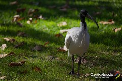 Ibis (Camino Nomada) Tags: bird animal sydney australia nsw australianwildlife