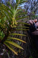 Orchid (ggallice) Tags: orchid orchidaceae wayqecha biological station paucartambo cusco peru cloud forest bosque de nubes nublado south america wayqechabiologicalstation andes mountains cloudforest bosquenublado southamerica