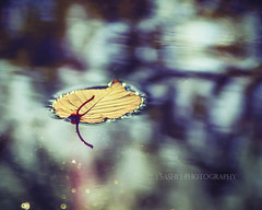 aFloat (s a s h i) Tags: blue autumn nature water leaves reflections contemplative sashi walpole alexarnaoudov
