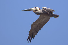 Brown Pelican (Pelecanus occidentalis) 1 051413 (evimeyer) Tags: brownpelican pelecanusoccidentalis pointvicentecliff