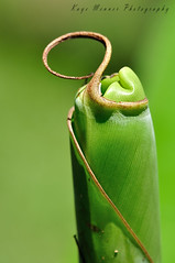 Banana Palm Frond ready to Unfurl (Kaye Menner) Tags: plant macro green texture nature beauty botanical leaf natural frond curly tropical bananatree greenleaf scientific shadesofgreen unfurling unfold bananaleaf unfurl bananapalm newleaf naturaltexture unroll greenbokeh softbokeh newfrond curlyleaf readytounfurl greenfrond leafunfurling kayemennerphotography kayemenner kayemennerleaf bananapalmfrondreadytounfurl bananapalmfrond curlyfrond curlytip tropicalbananapalm