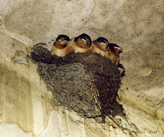 Barn Swallows (carolyn747) Tags: nature birds babies nest farm wildlife abandonedhouse barnswallows swallows fledglings oldwallpaper