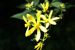 Inhotim - MG (Rafaela Roque) Tags: sun flower macro green yellow amazing cool close beatiful