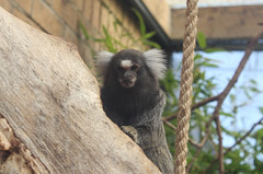 White tufted ear Marmoset (FuriousGM) Tags: white animals zoo ear tufted marmoset primates calderglen
