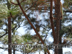 Bachman's Sparrow (Fingerprince Prints) Tags: nature hiking birding sparrow pineforest specialist bachmanssparrow specialistspecies