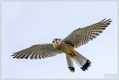 Falco tinnunculus  (Alessandro Laporta Photographer) Tags: kestrel falcotinnunculus torenvalk commonkestrel laporta turmfalke trnfalk peneireirovulgar cernicalovulgar fauconcrcerelle tuulihaukka gheppio 175621 chougenbou tornfalk    gheppiocomune potolkaobecn alessandrolaporta turnflki pustulkazwyczajna dcddc20bda55e5d3 sokolmyiar pustovka