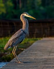 Great Blue Heron (Ardea herodias) (Josh Beasley) Tags: bird nikon greatblueheron ardeaherodias