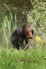 Gundogs at Pond Meadow (jane currie) Tags: dog wet water grass pond gun norfolk shake spaniel splash dummy retrieve