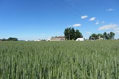 CerealPlus 2.0 - 3848 - Rovigo 13-5-2013 (Image Line) Tags: orzo agricoltura cereali agronotizie syngenta cerealicoltura cerealplus20 syngentaincampo2013